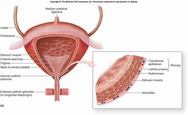 Sỏi bàng quang được hình thành chủ yếu do hiện tượng ứ đọng nước tiểu trong bàng quang