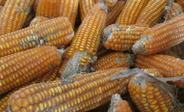 Những thực phẩm nông sản mốc chứa chất độc có thể gây ung thư gan nên chúng ta cần hết sức chú ý